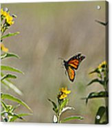Flight Of The Monarch Acrylic Print by Thomas Bomstad