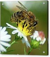 Flowering Bee Acrylic Print