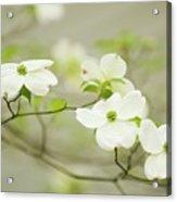 Flowering Dogwood (cornus Florida) Acrylic Print