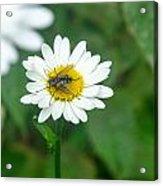 Fly On Daisy 3 Acrylic Print