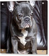 French Bulldog Acrylic Print by Falko Follert