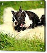 French Bulldoggs Acrylic Print