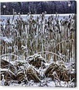 Frozen Reeds Acrylic Print