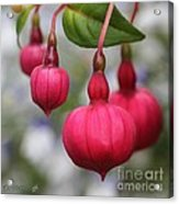 Fuchsia Named Dark Eyes Acrylic Print
