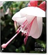 Fuchsia Named Liebelei Acrylic Print