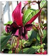 Fuchsia Named Roesse Blacky Acrylic Print