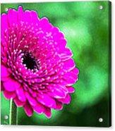 10188 Purple Gerbera Acrylic Print