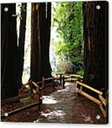 Giant Redwoods Acrylic Print