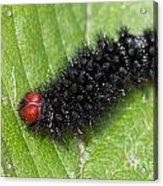 Glanville Fritillary Butterfly Caterpillar - Melitaea Cinxia Acrylic Print
