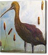 Glossy Ibis Acrylic Print by Sharon Burger