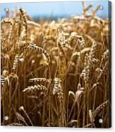 Gold Corn Field Acrylic Print