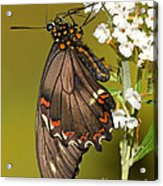 Gold Rim Swallowtail Butterfly Acrylic Print