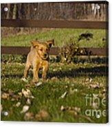 Golden Retriever Pup Acrylic Print by Linda Freshwaters Arndt