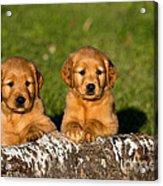 Golden Retriever Puppies Acrylic Print by Linda Freshwaters Arndt