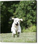 Golden Retriever Puppy Acrylic Print by John Daniels