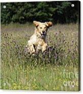 Golden Retriever Running Acrylic Print by John Daniels