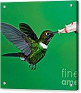 Gorgeted Sunangel Acrylic Print