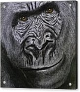 Gorilla Portrait Acrylic Print by David Hawkes