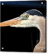 Great Blue Heron Profile Acrylic Print