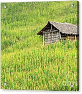 Green Corn Field Acrylic Print