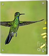 Green-crowned Brilliant Acrylic Print