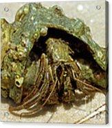 Green Striped Hermit Crab Acrylic Print