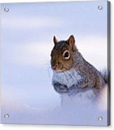 Grey Squirrel In Snow Acrylic Print by Jeff Sinon