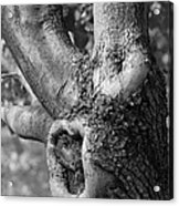 Growth On The Survivor Tree In Black And White Acrylic Print