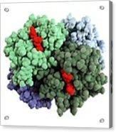 Haemoglobin Molecule Acrylic Print by Science Photo Library