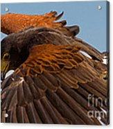 Harris Hawk Approach Acrylic Print