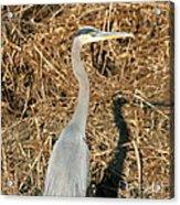 Heron In Shadow Acrylic Print