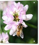 Honeybee On Crown Vetch Acrylic Print