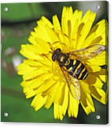 Hoverfly On Dandelion Acrylic Print
