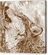 Howling Gray Wolf Acrylic Print