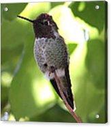 Hummingbird Hangout Acrylic Print