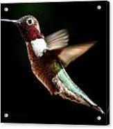 Hummingbird Male Anna Acrylic Print