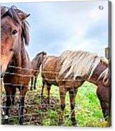 Icelandic Ponies Acrylic Print