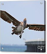 Incoming Pelican Acrylic Print