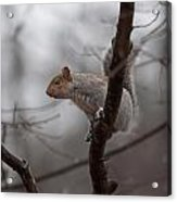 Jumping Squirrel Acrylic Print