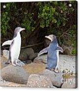 Juvenile Nz Yellow-eyed Penguins Or Hoiho On Shore Acrylic Print