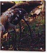 Juvenile White Ibis Acrylic Print