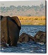 Kalahari Elephants Crossing Chobe River Acrylic Print