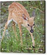 Key Deer Fawn Acrylic Print