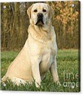 Labrador Retriever Dog Acrylic Print