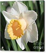 Large-cupped Daffodil Named Mrs. R.o. Backhouse Acrylic Print