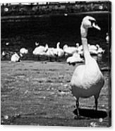 large swan on slipway protecting flock in galway bay Galway city county Galway Republic of Ireland Acrylic Print