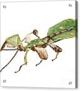 Leaf Insect Species Phyllium Bioculatum Male Acrylic Print