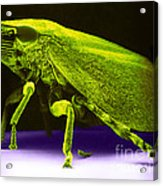 Leafhopper, Sem Acrylic Print by David M. Phillips