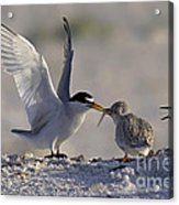 Least Tern Feeding It's Young Acrylic Print