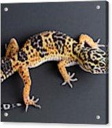 Leopard Gecko Eublepharis Macularius Acrylic Print